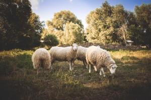 gone astray sheep IMG_9429-1300x866